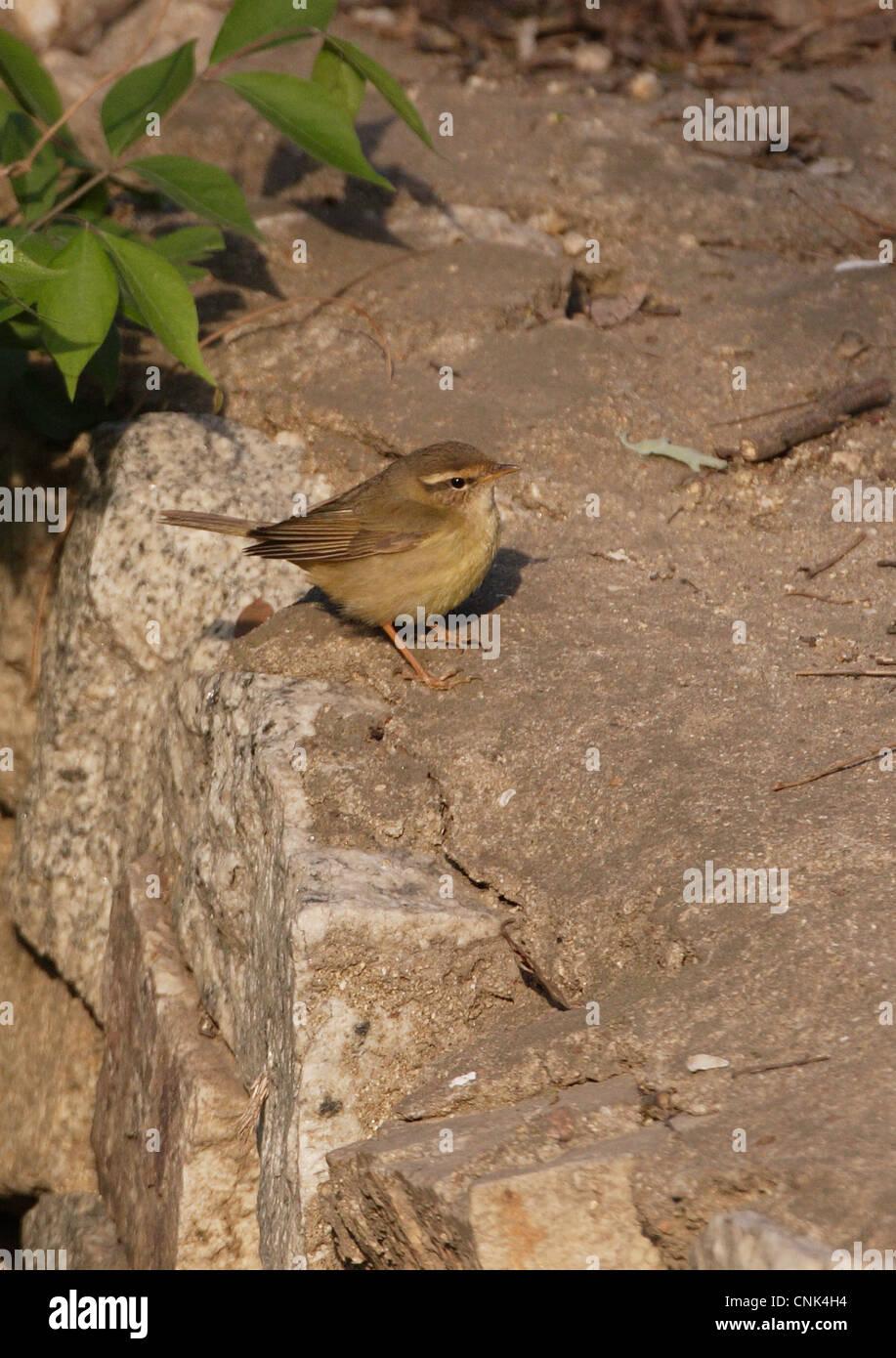 Radde's Warbler (Phylloscopus schwarzi) adult, standing on stone wall, Beidaihe, Hebei, China, may Stock Photo