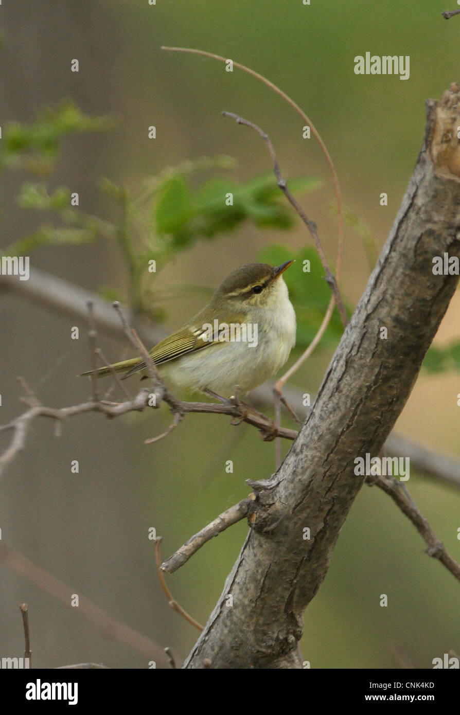 Two-barred Greenish Warbler (Phylloscopus plumbeitarsus) adult, perched on twig, Hebei, China, may Stock Photo