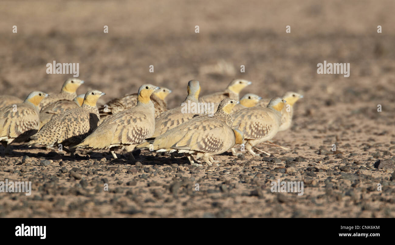 Spotted Sandgrouse (Pterocles senegallus) adult males and females, flock standing in desert, near Erg Chebbi, Morocco, Stock Photo