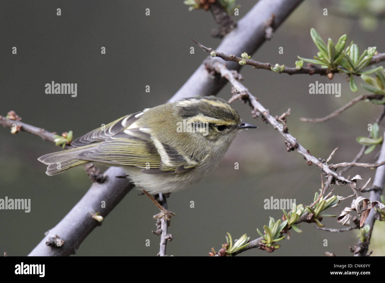 Sichuan Leaf-warbler (Phylloscopus forresti) adult, perched on twig, Yunnan, China, may Stock Photo