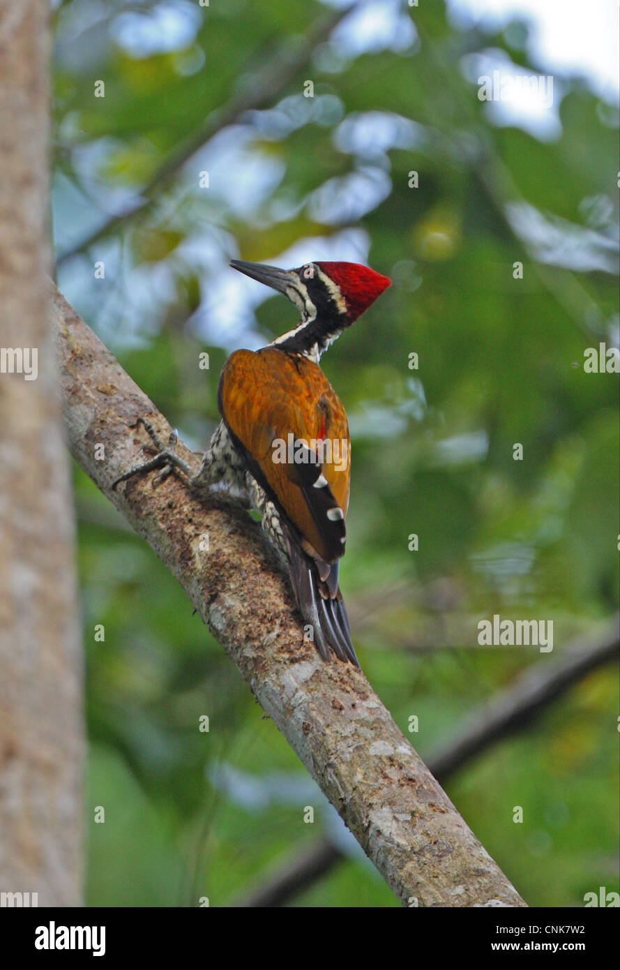 Greater Flameback Chrysocolaptes lucidus guttacristatus adult male clinging to tree trunk Kaeng Krachan N.P Thailand - Stock Image