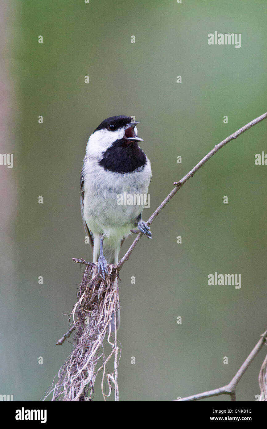 North America, USA, Texas, Marion Co., Carolina chickadee (Poecile carolinensis) singing - Stock Image