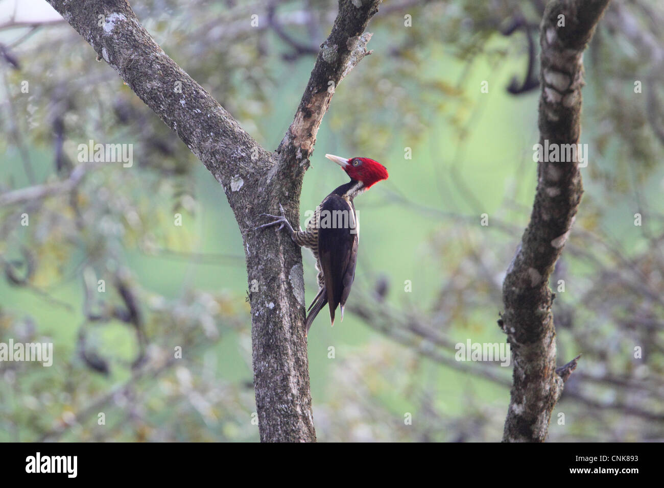 Pale-billed Woodpecker (Campephilus guatemalensis) adult female, foraging on tree trunk, Costa Rica, february - Stock Image