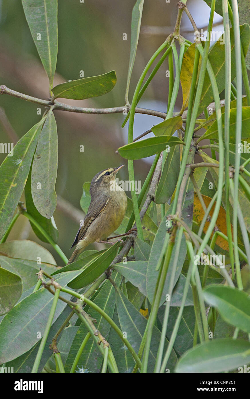 Tickell's Leaf-warbler (Phylloscopus affinis) adult, foraging in tree, Dibru-Saikhowa N.P., Assam, India, february Stock Photo