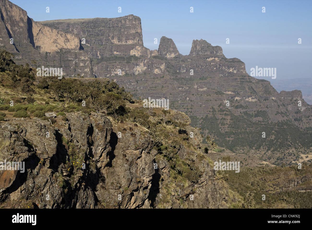 Gelada (Theropithecus gelada) troop, on cliff in mountain habitat, Simien Mountains, Ethiopia - Stock Image
