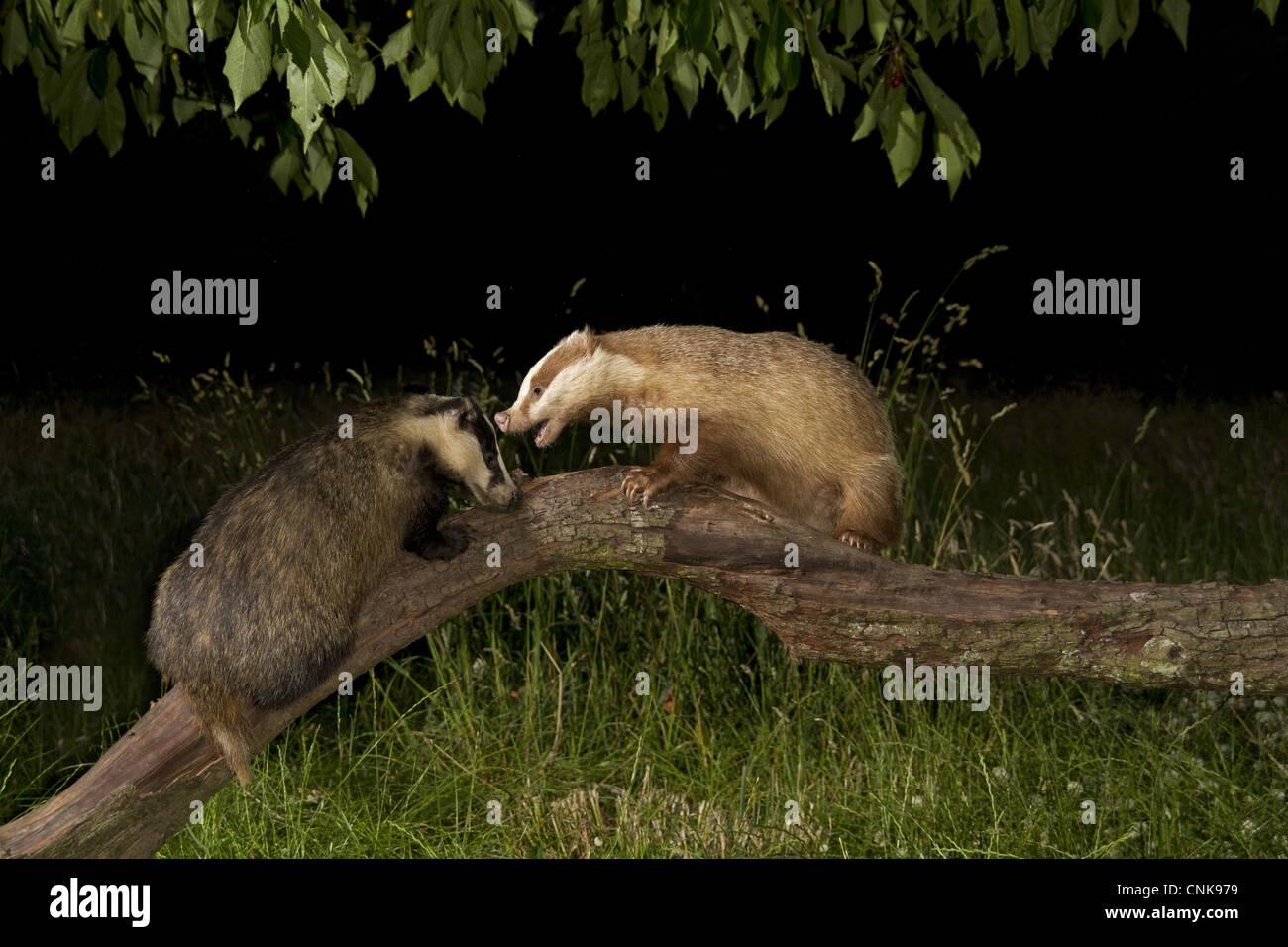 Eurasian Badger Meles meles two adults normal albino fighting fallen branch under Cherry Prunus sp. tree night England - Stock Image