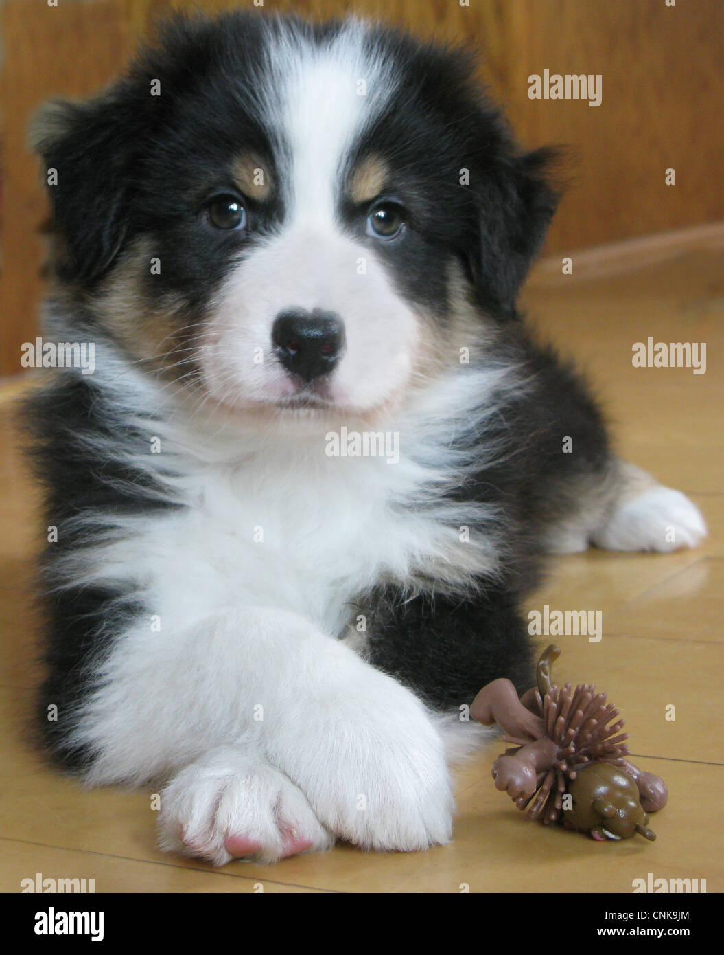 Portrait of Australian shepherd puppy crossing his paws. - Stock Image