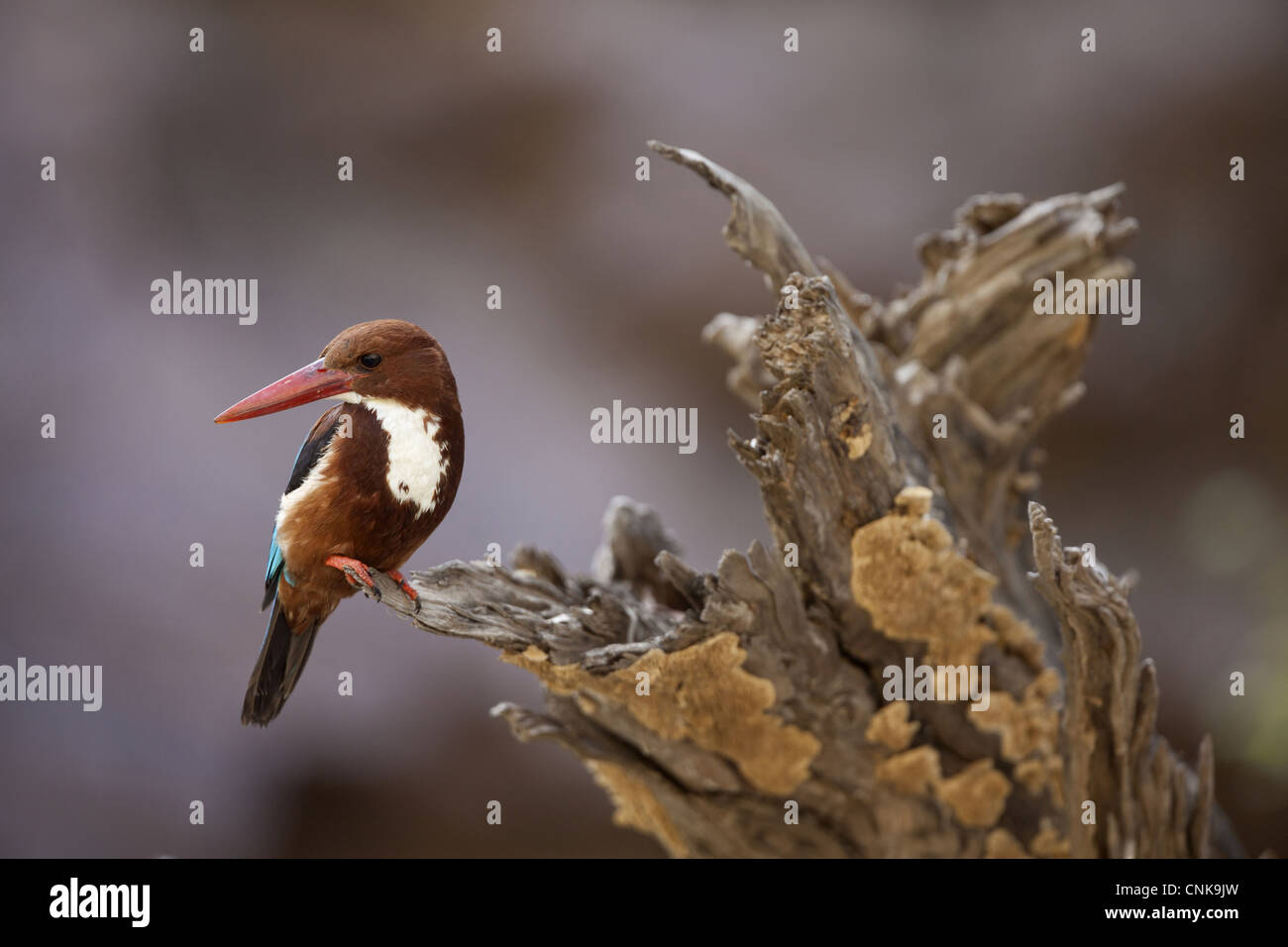 White-throated Kingfisher (Halcyon smyrnensis) adult, perched on stump, Ranthambore N.P., Rajasthan, India - Stock Image