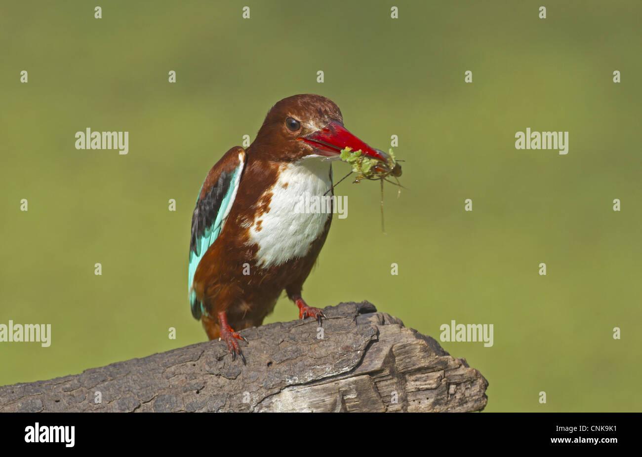 White-throated Kingfisher Halcyon smyrnensis adult fish waterweed in beak Keoladeo Ghana N.P Bharatpur Rajasthan - Stock Image