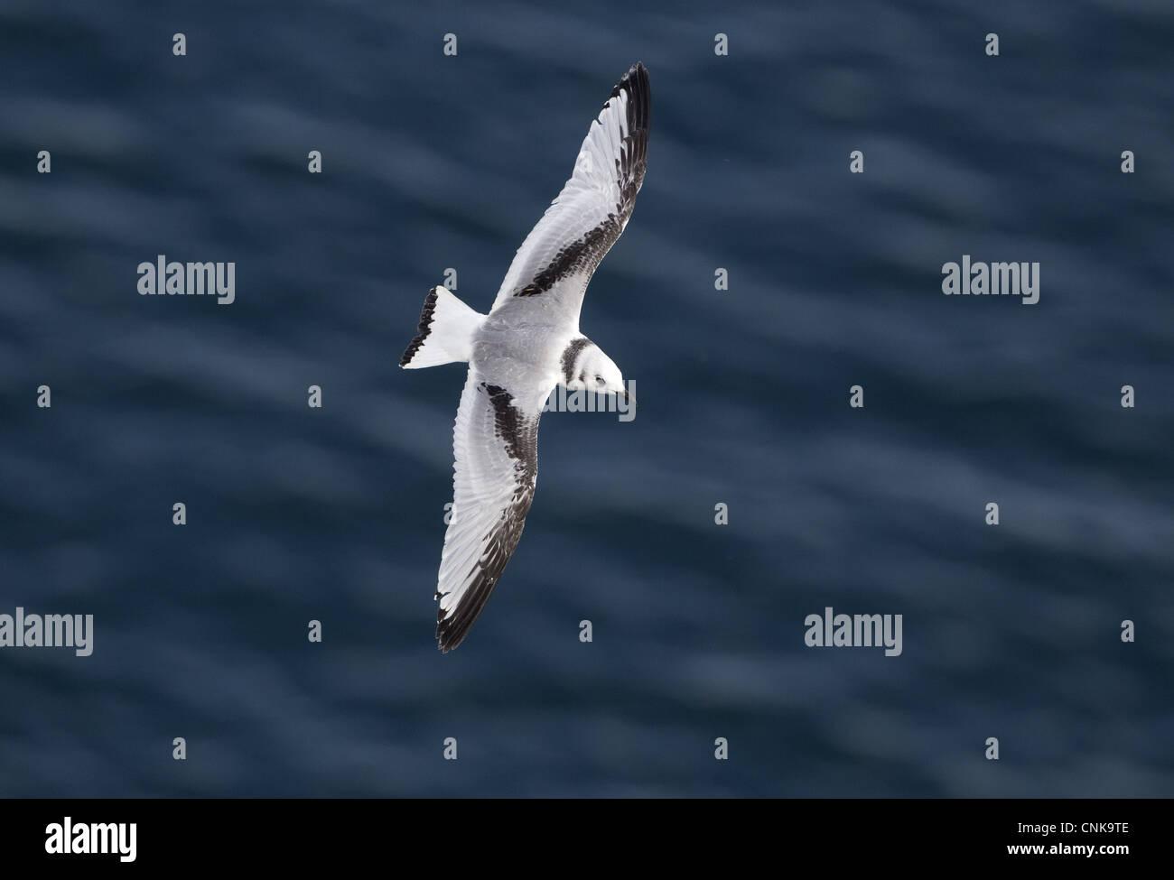 Kittiwake (Rissa tridactyla) juvenile, in flight over sea, Bempton Cliffs RSPB Reserve, East Yorkshire, England, - Stock Image