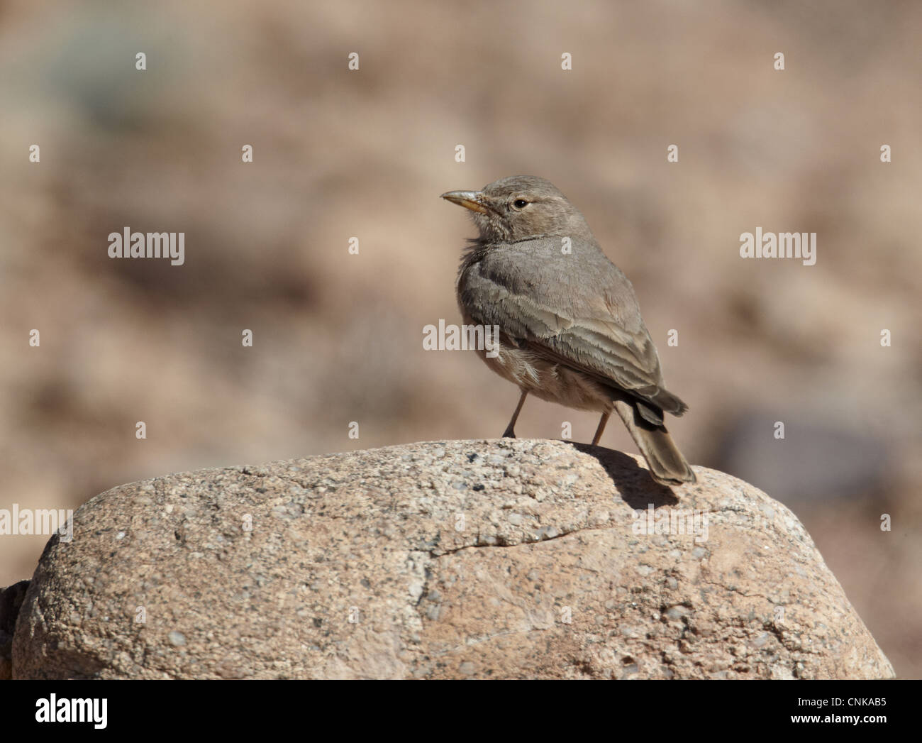 Desert Lark (Ammomanes deserti) adult, standing on rock, near Ouarzazate, Morocco, february - Stock Image