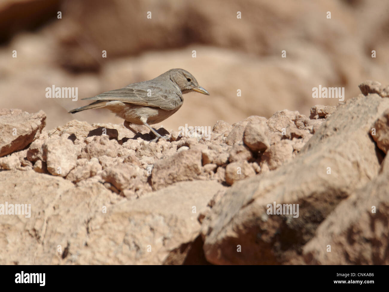 Desert Lark (Ammomanes deserti) adult, standing on ground, near Ouarzazate, Morocco, february - Stock Image
