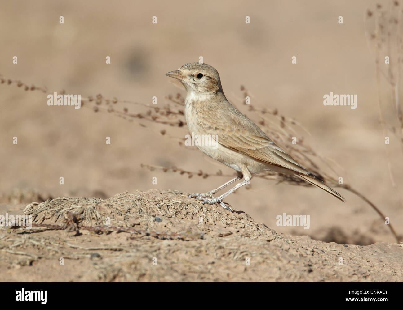 Bar-tailed Lark (Ammomanes cinctura) adult, standing on ground, near Erg Chebbi, Morocco, february - Stock Image