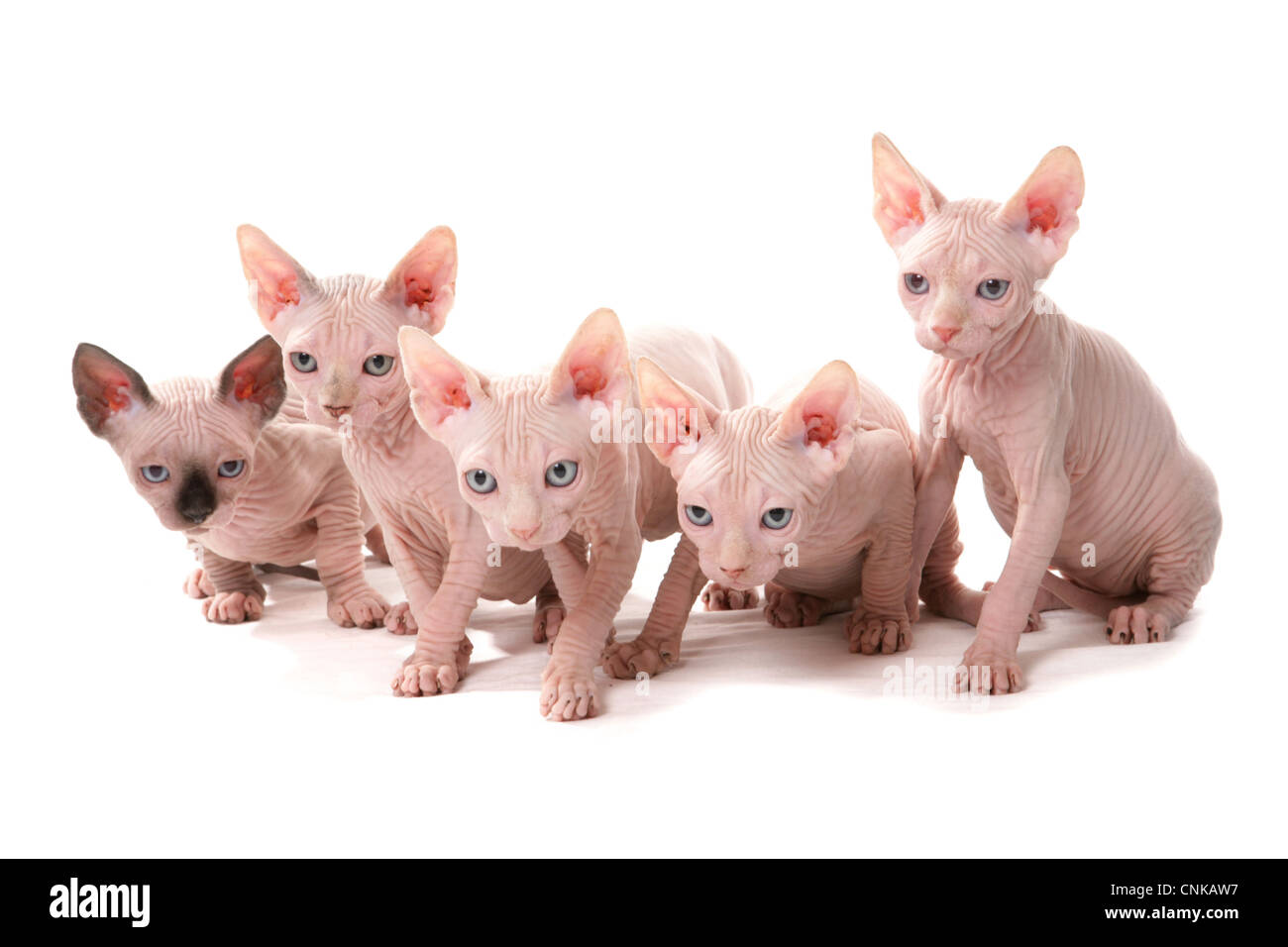 Domestic Cat, Sphynx, five kittens, sitting - Stock Image