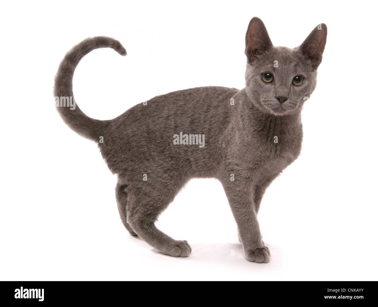 Domestic Cat, Russian Blue, kitten, sixteen-weeks old, standing - Stock Image