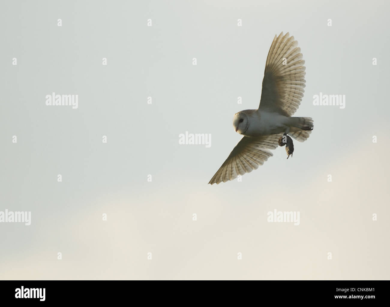 Barn Owl (Tyto alba) adult, in flight, with vole prey in talons, Derbyshire, England, june - Stock Image