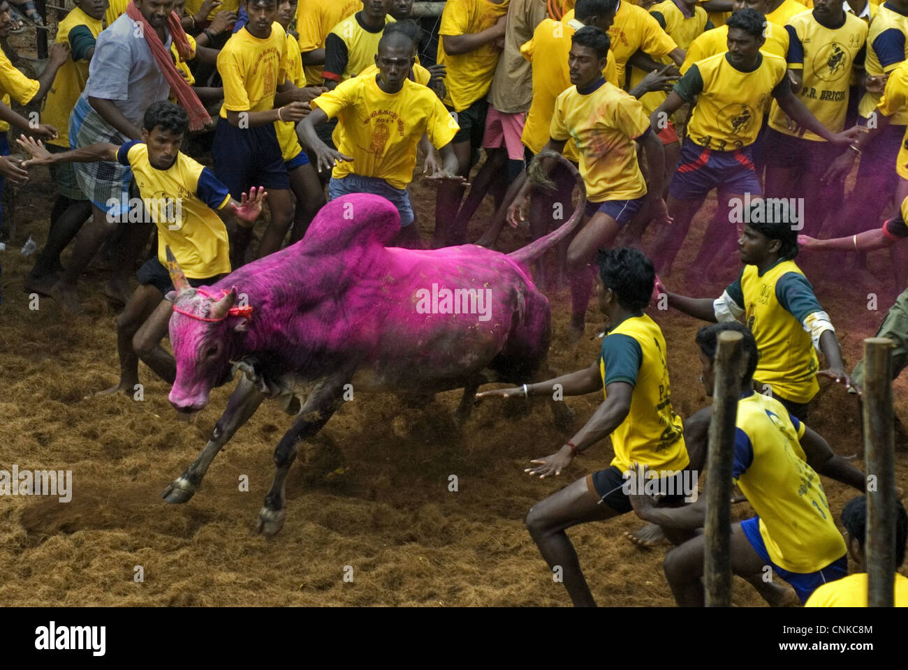 Domestic Cattle Zebu Bos indicus bull men attempting hold onto hump during 'Jallikattu' 'Taming Bull' - Stock Image