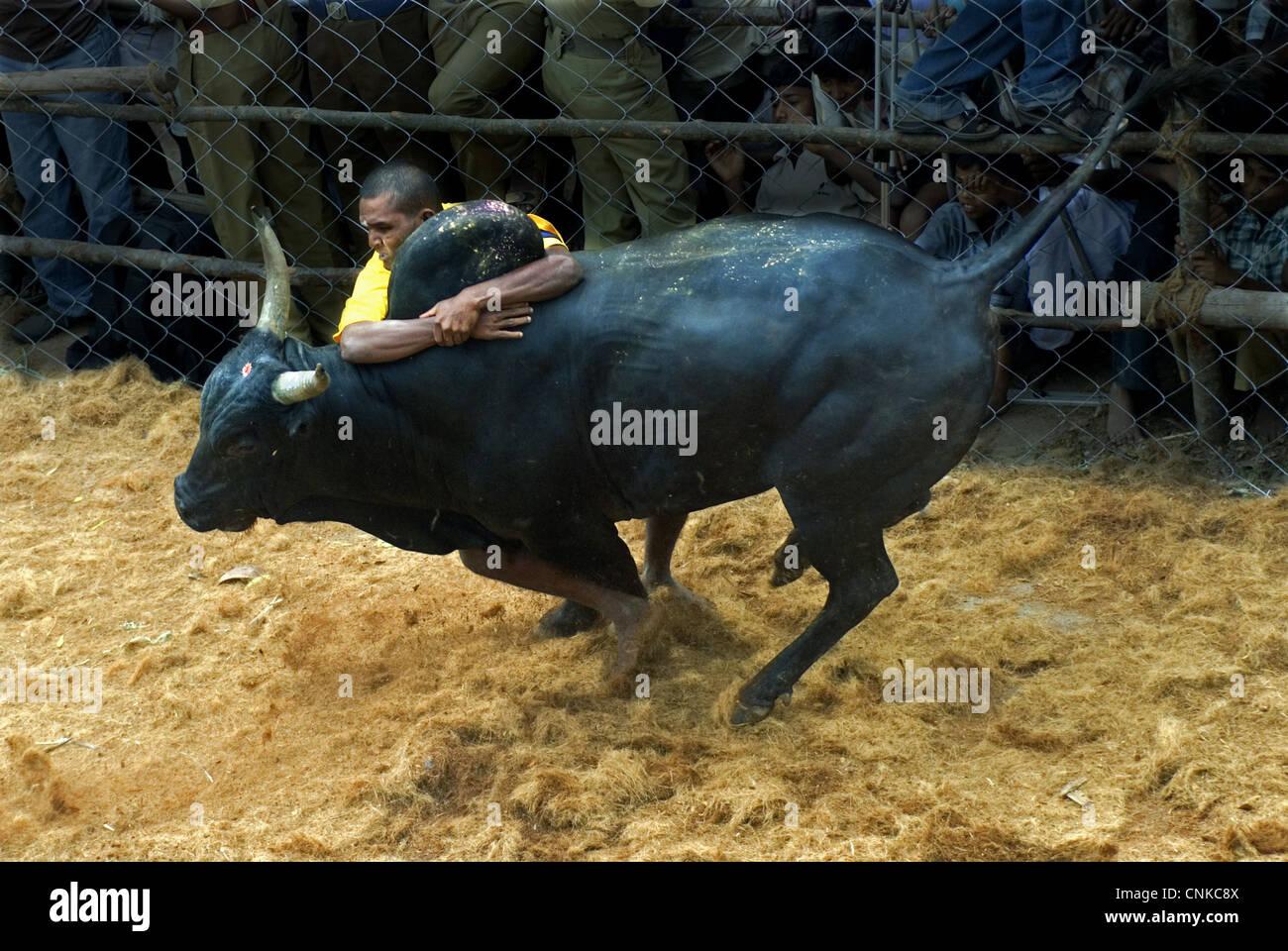 Domestic Cattle Zebu Bos indicus bull man holding onto hump during 'Jallikattu' 'Taming Bull' ancient - Stock Image