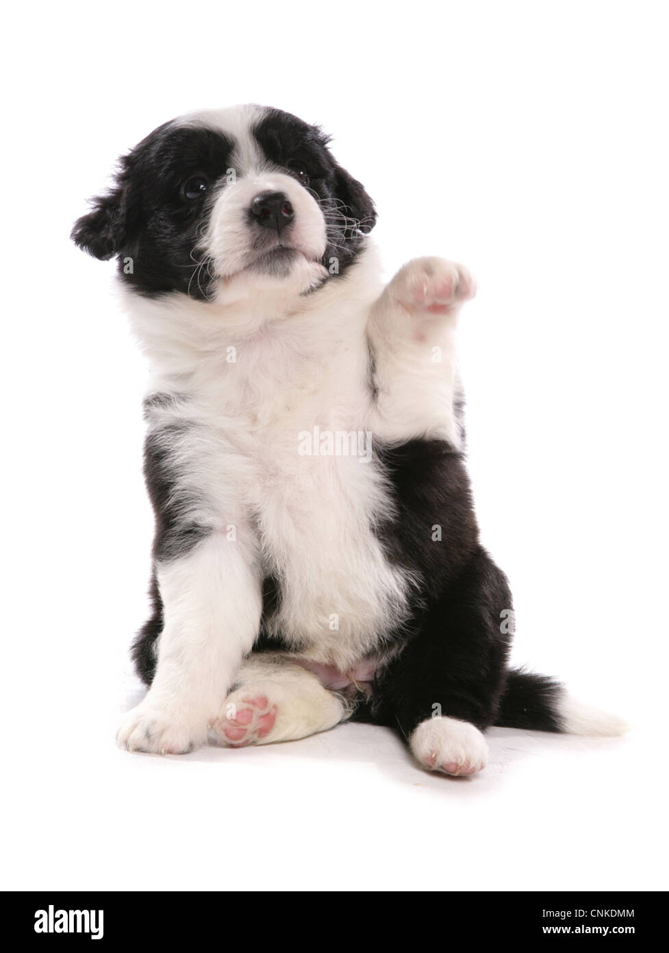 Domestic Dog Border Collie Puppy Sitting With Front Paw Up Stock