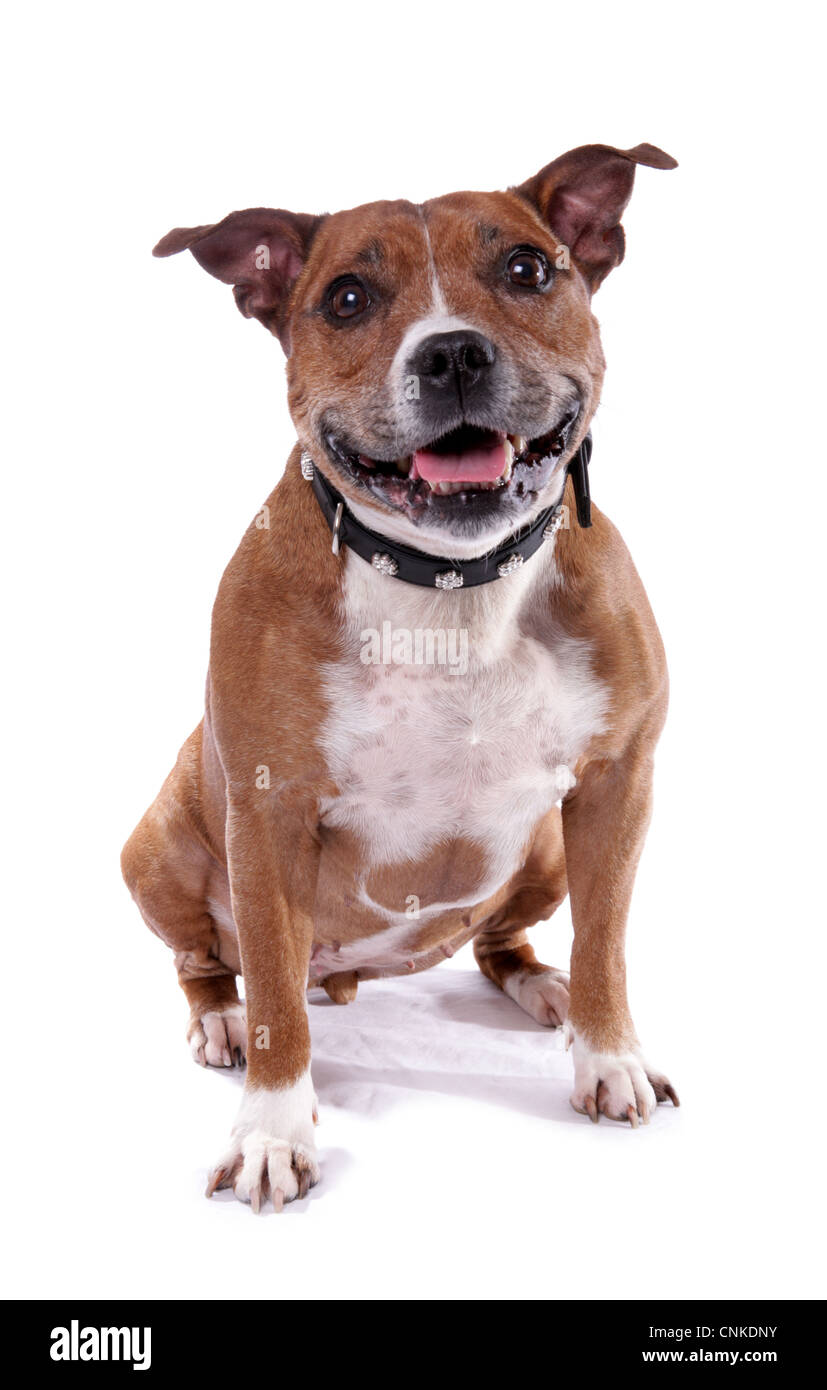 Domestic Dog, Staffordshire Bull Terrier, adult male, with collar, sitting - Stock Image