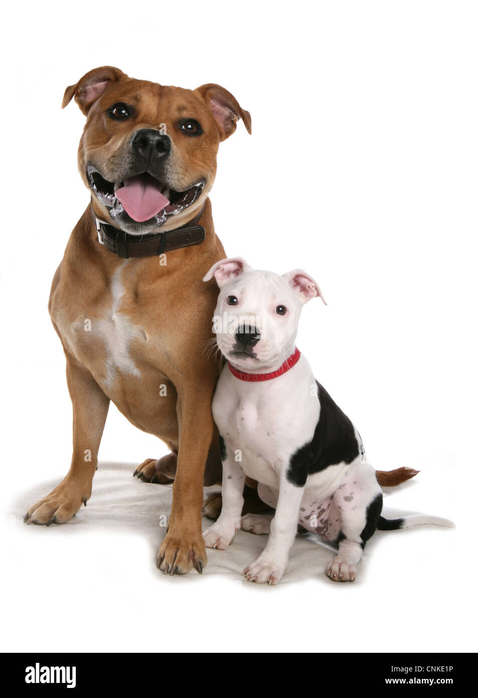 Domestic Dog, Staffordshire Bull Terrier, adult male and puppy, sitting, with collars - Stock Image
