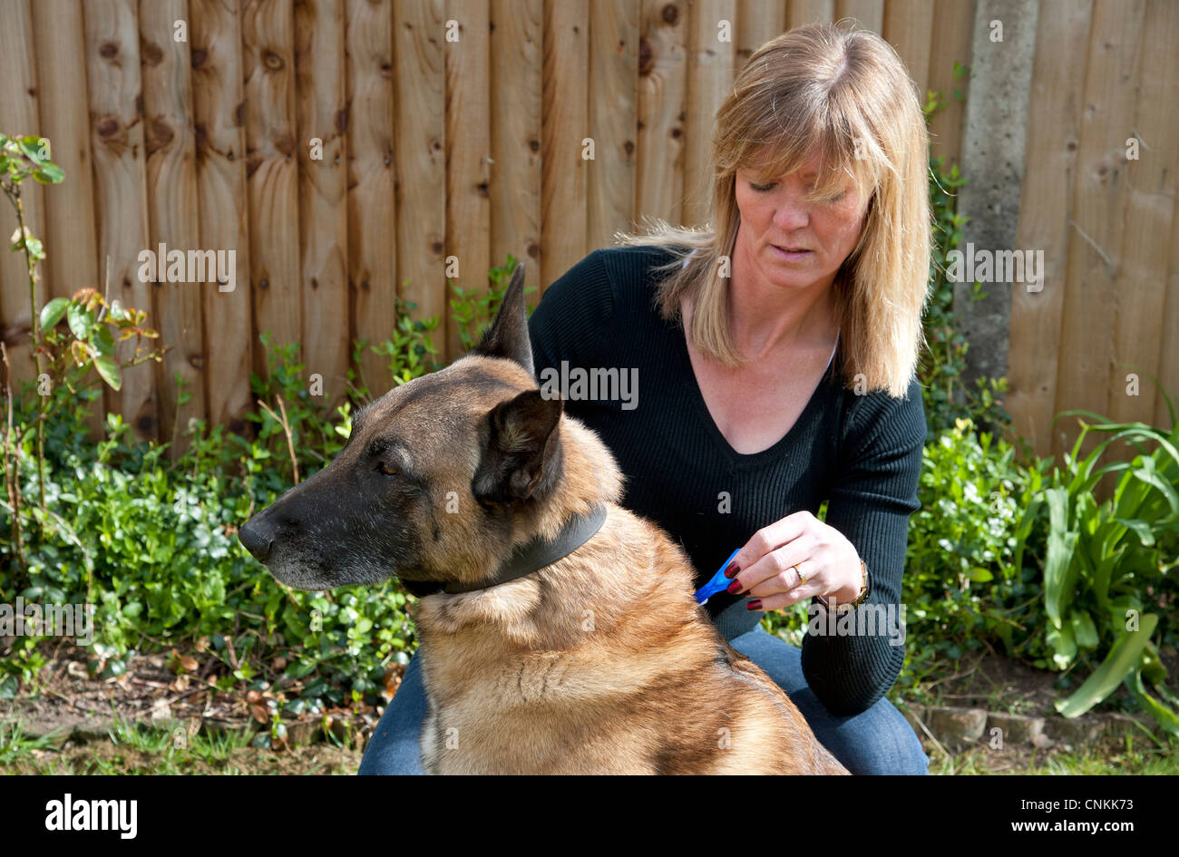 Woman applying monthly flea prevention treatment to her dog - Stock Image