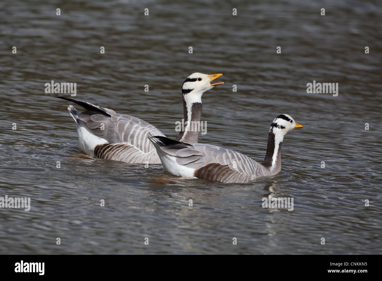 Bar-headed Goose (Anser indicus).  Pair; gander or male, left, calling. Shadowing goose or female, whilst swimming. - Stock Image