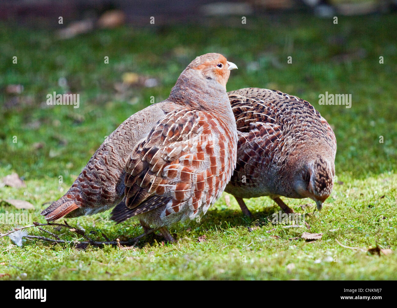 Grey Partridges (perdix perdix) - Stock Image