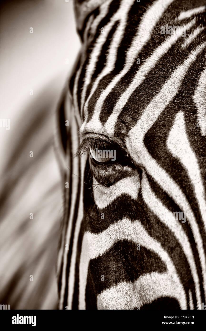 Close up of a zebra face in Namibia Etosha Stock Photo