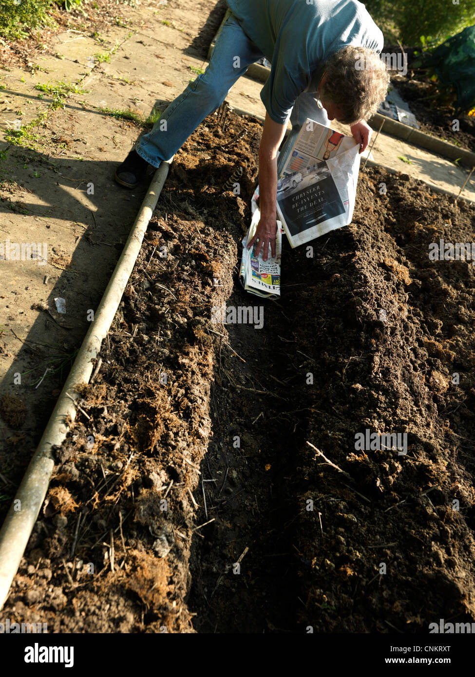 Man Lining Trench With Newspaper For Planting Potatoes Surrey England - Stock Image