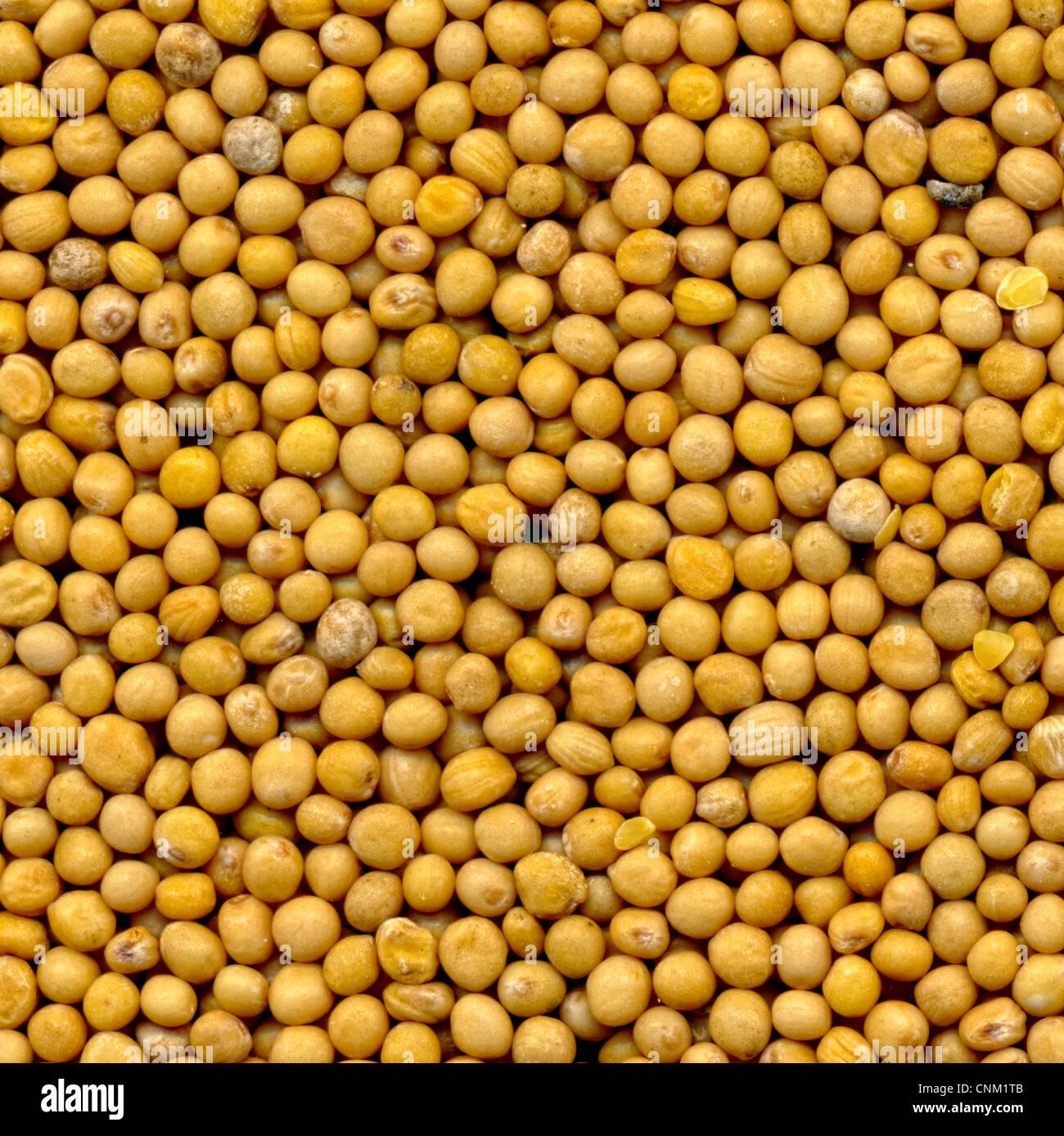 White mustard seeds , Senfkörner, granum sinapis, Samenkörner des weißen Senf - Stock Image