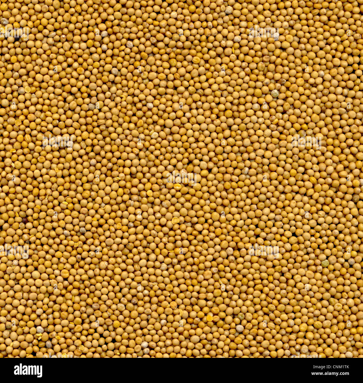 White mustard seeds granum sinapis  foodstill - Stock Image