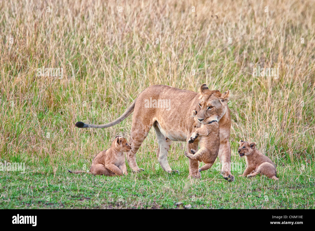 African Lioness carrying a Cub in her mouth with two Cubs beside her,  Panthera leo, Masai Mara National Reserve, - Stock Image