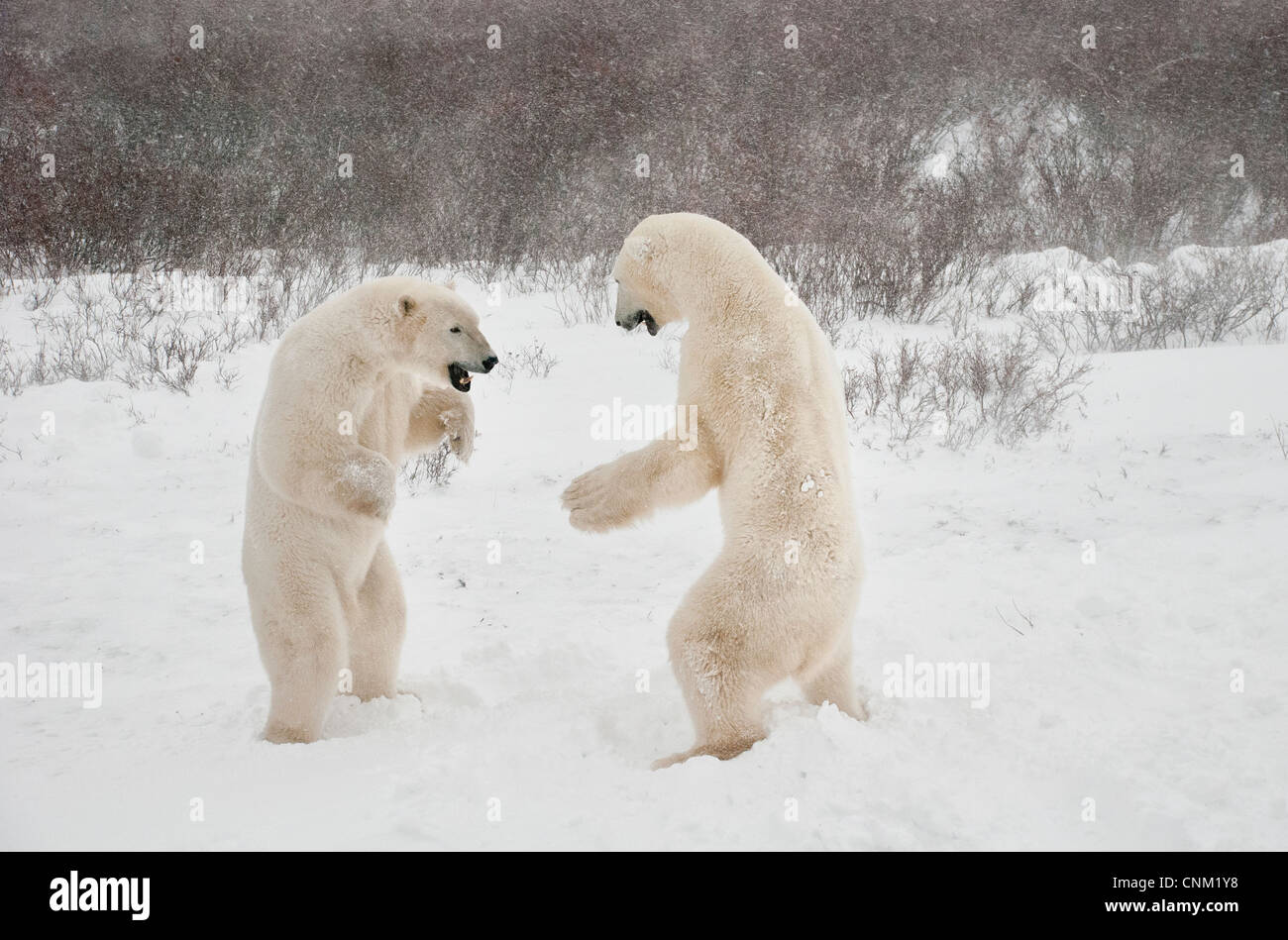 Polar Bears, Ursus maritimus, play fighting, Wapusk National Park, near Hudson Bay, Cape Churchill, Manitoba, Canada Stock Photo