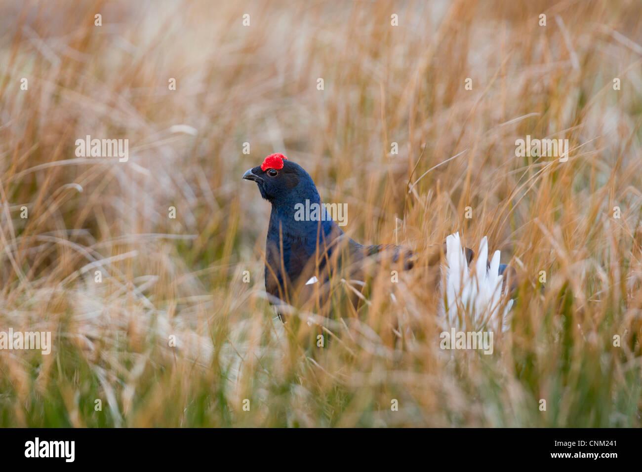 Black Grouse; Tetrao tetrix; male; lekking; Scotland; UK - Stock Image