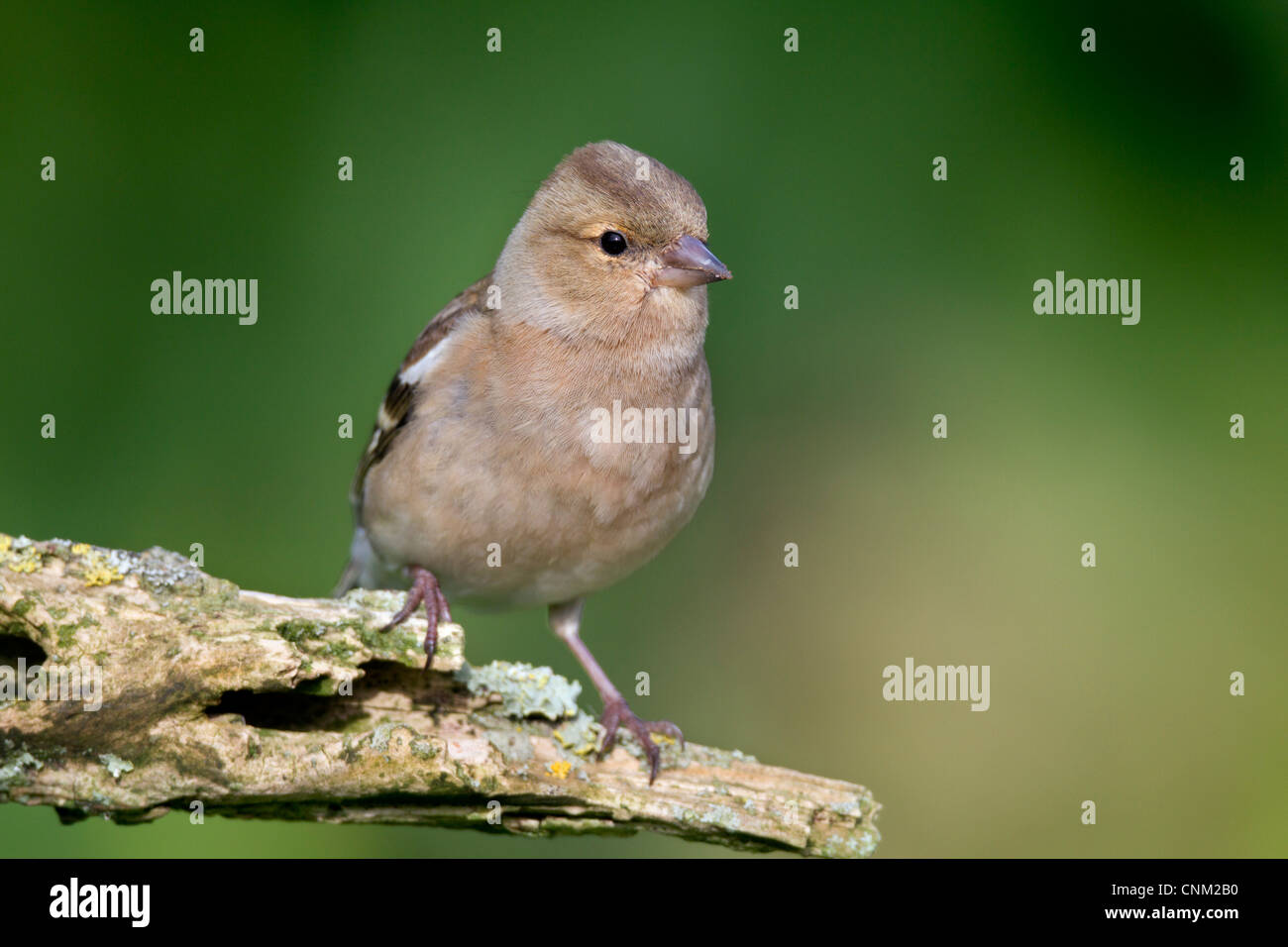 Chaffinch; Fringilla coelebs; female; UK - Stock Image