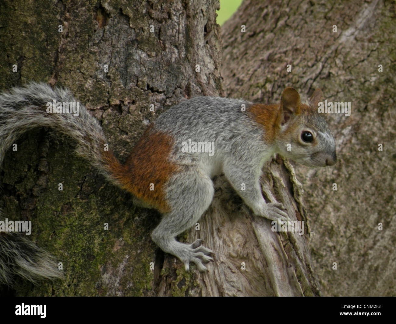 Mexican Squirrel (Sciuridae) Southwestern Pacific Coast of Mexico, State of Guerrero. - Stock Image