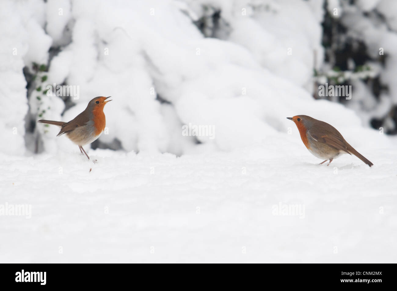 A pair of robins facing off, engaged in a territorial dispute in snowy weather. Hastings, Sussex, UK - Stock Image