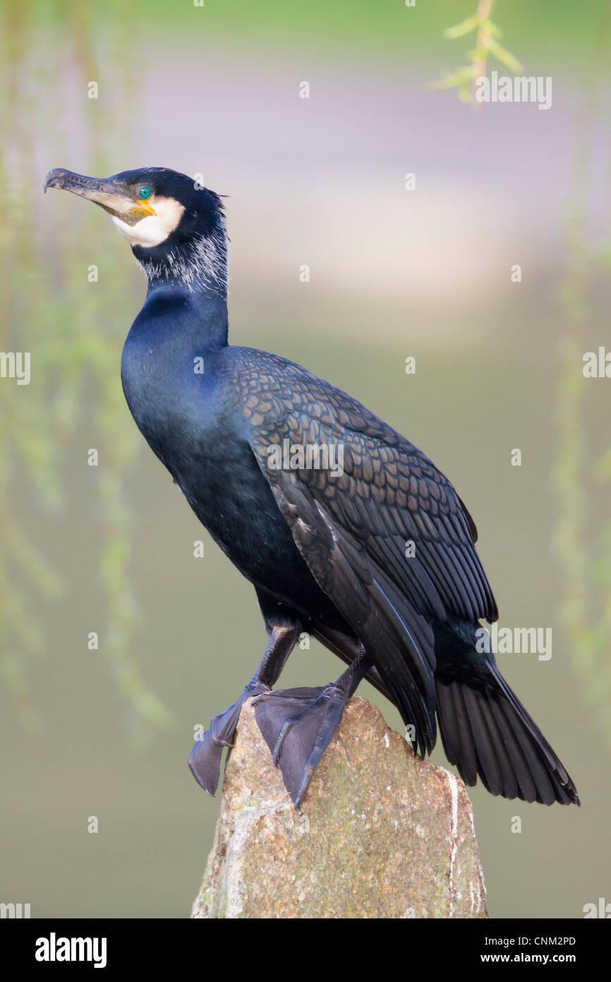 Cormorant; Phalacrocorax carbo; adult; UK - Stock Image