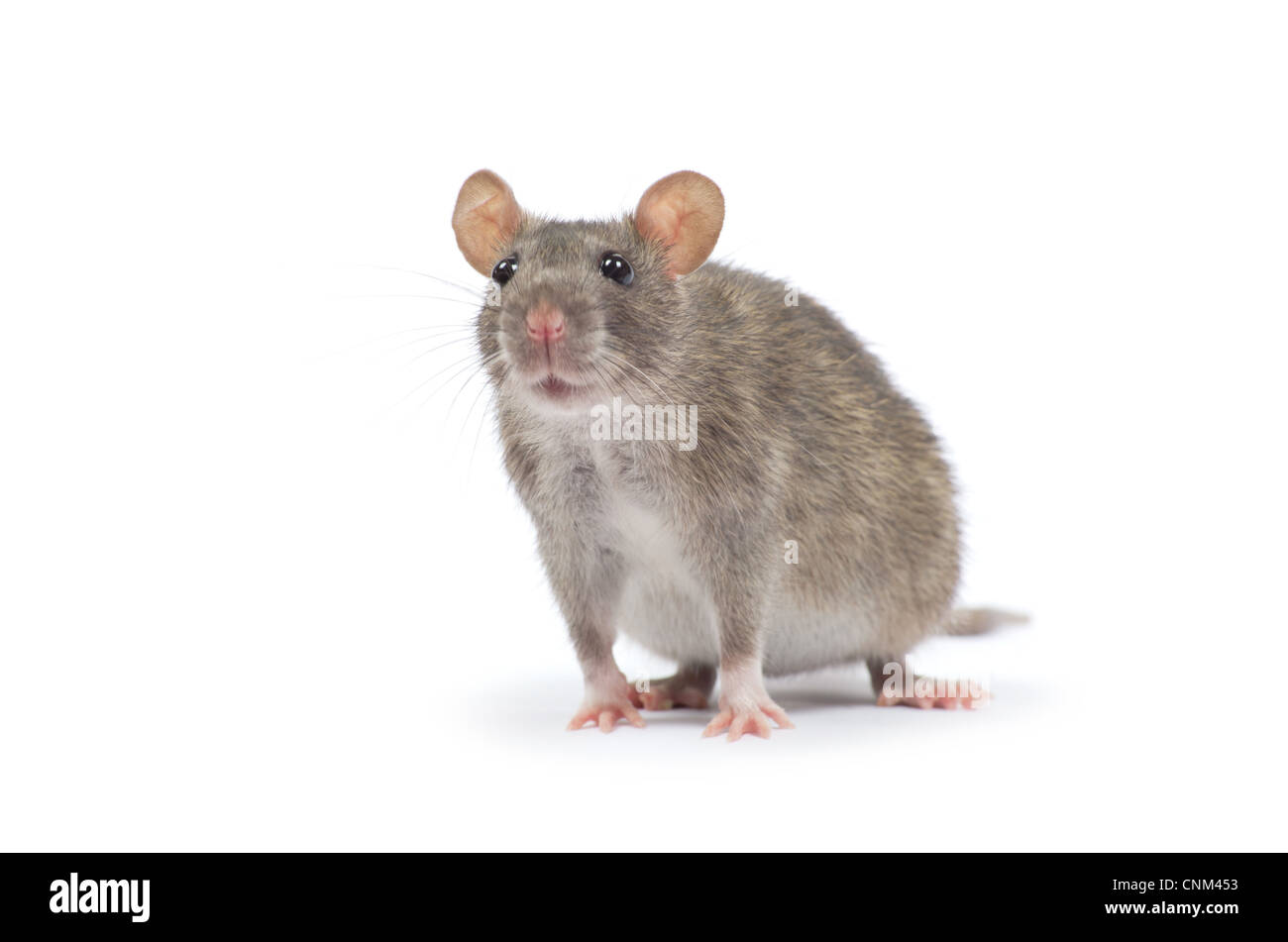 rat isolated on white background - Stock Image