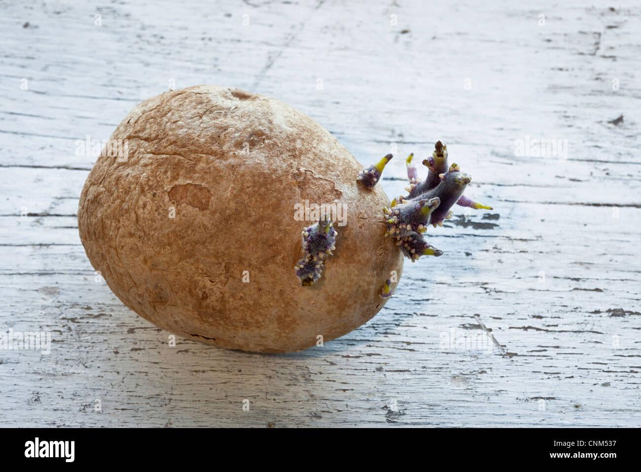 Potato growing eyes - Stock Image