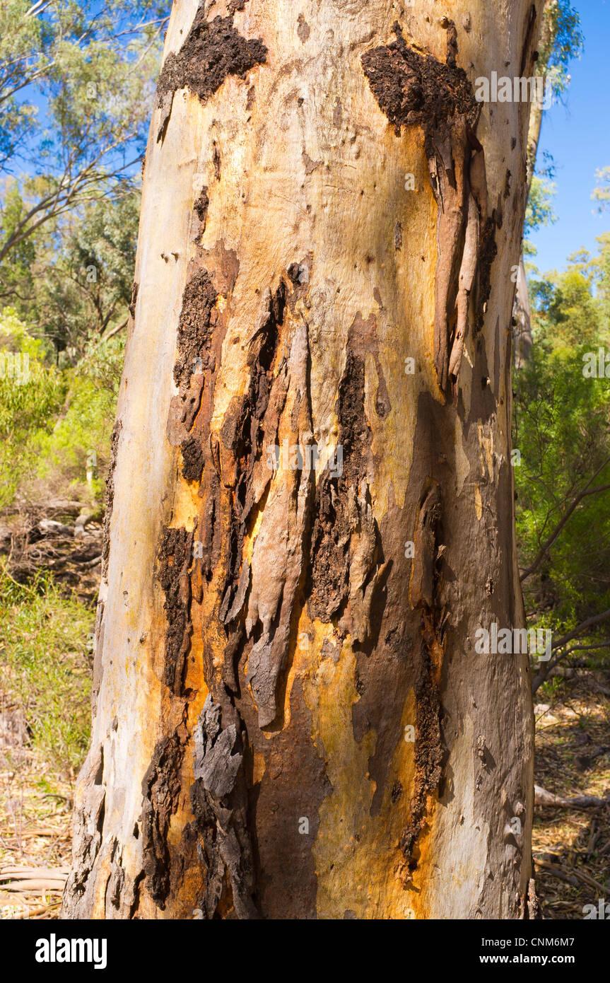 South Australian Eucalyptus Tree Stock Photos South Australian Images, Photos, Reviews