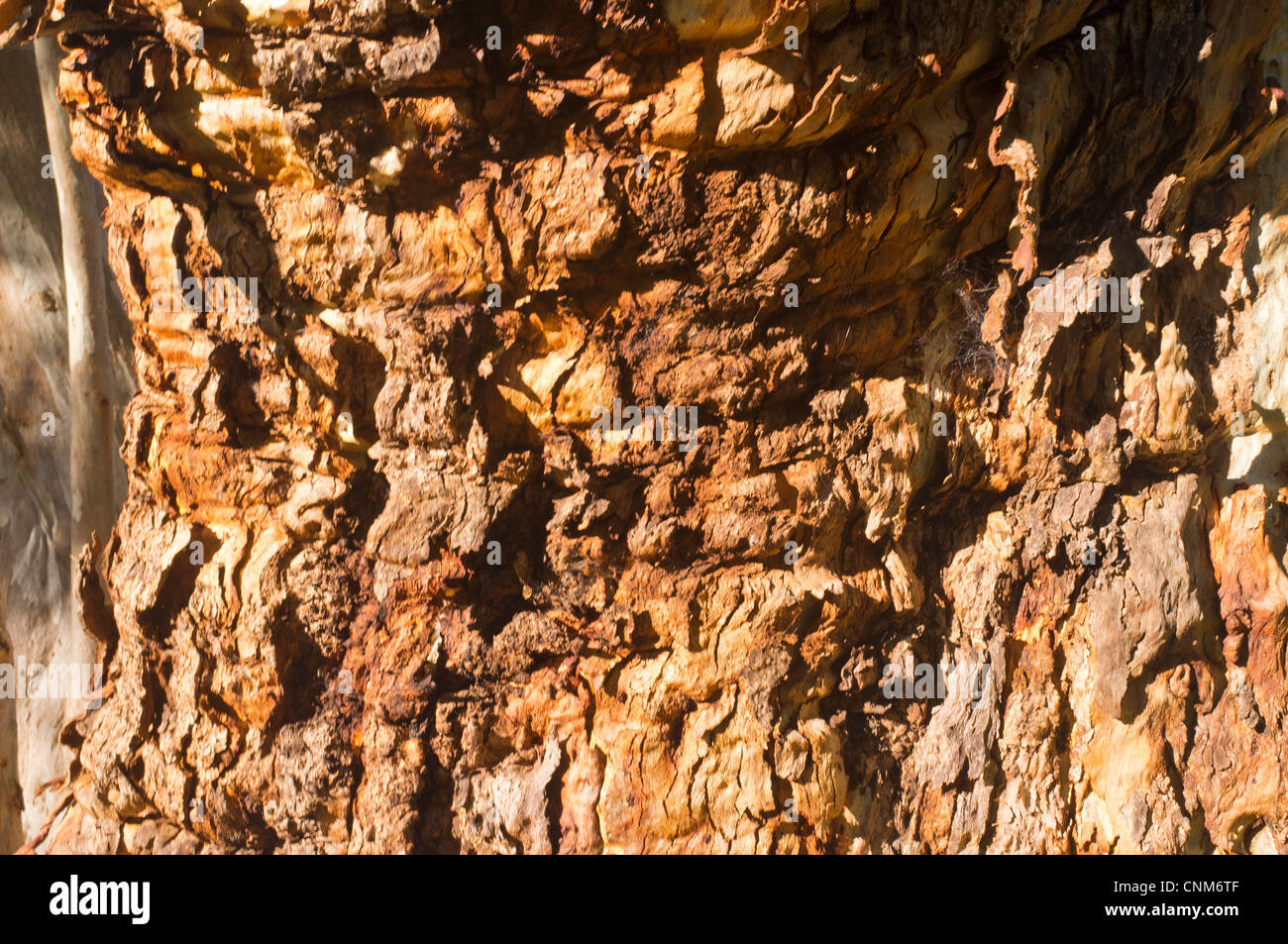 Textured bark on a River Red Gum tree (Eucalyptus camaldulensis) at Mambray Creek in Mount Remarkable National Park - Stock Image