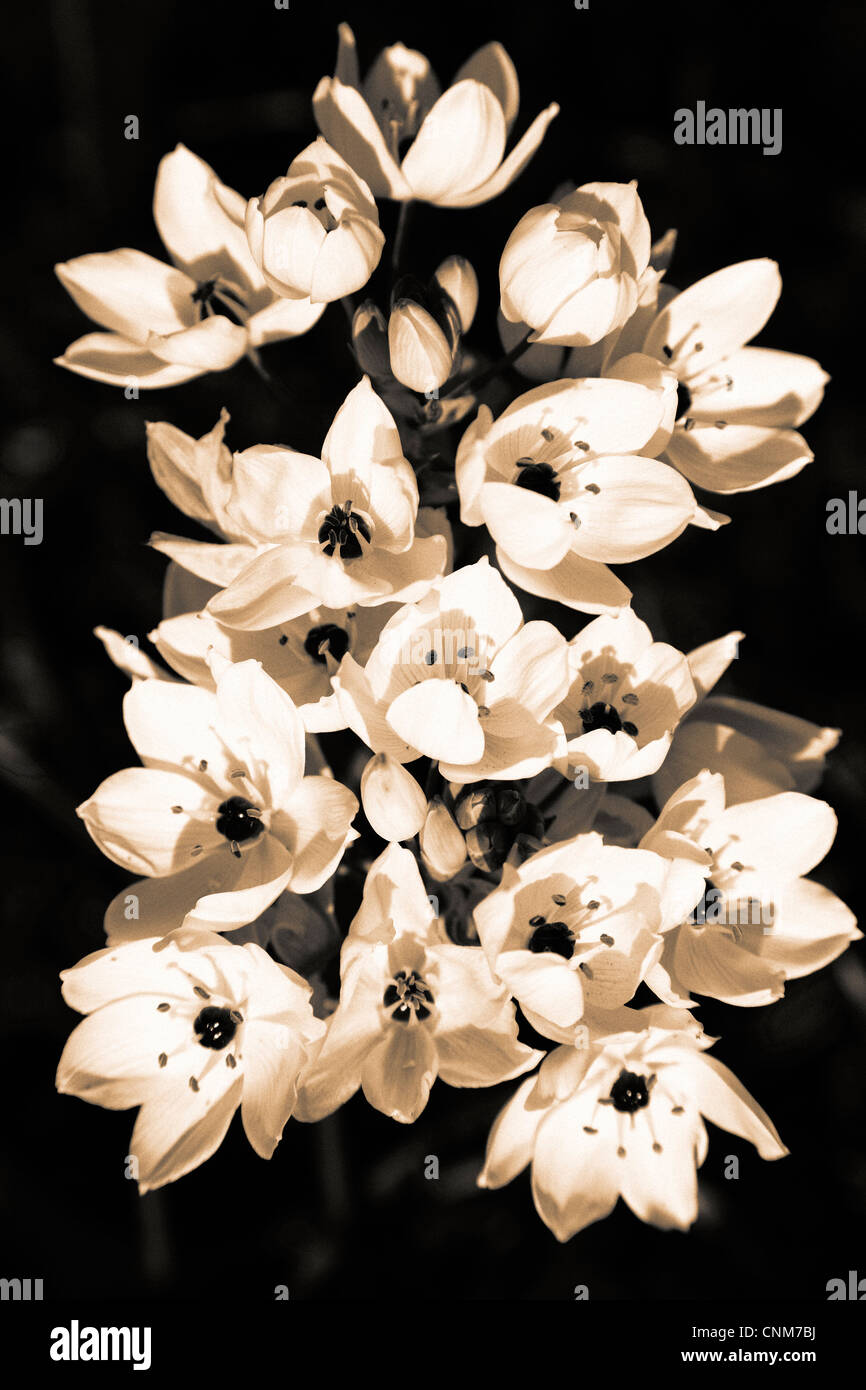 Lilies blooming in sepia tones - Stock Image