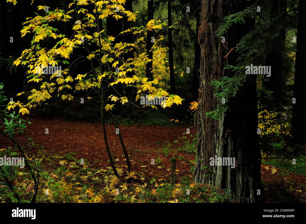 Redwood and Big Leaf Maple in Fall, near La Honda, CA Stock Photo