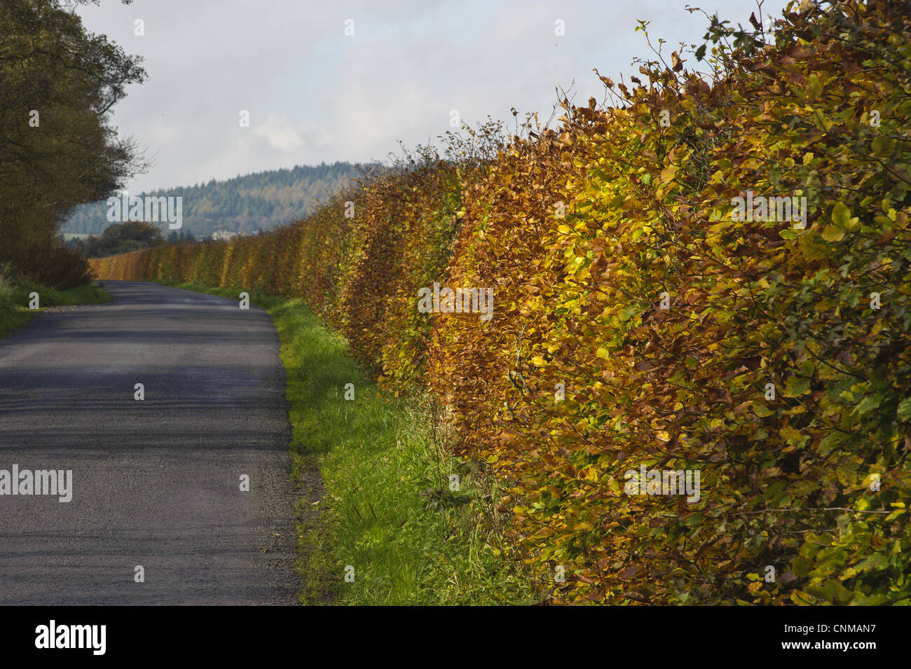 Common Beech Fagus sylvatica hedge leaves in autumn colour growing beside road Bleasdale Lancashire England november Stock Photo