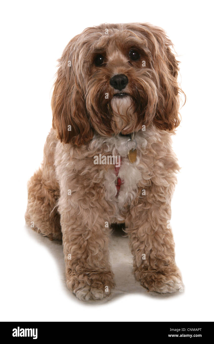 Domestic Dog, Cockerpoo (Cocker Spaniel x Poodle), adult, sitting, with collar and tag - Stock Image