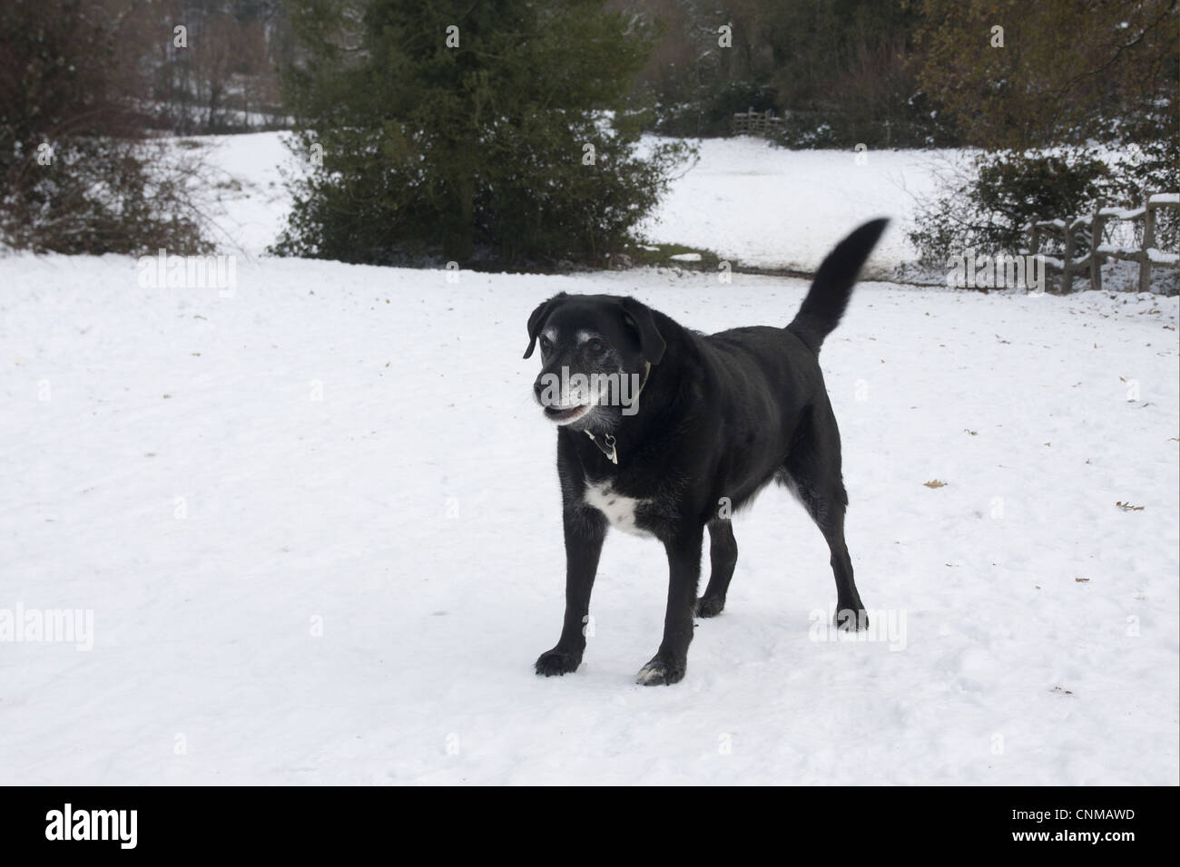 Domestic Dog, labrador cross mongrel, elderly adult, barking and wagging tail in snow, England, december - Stock Image