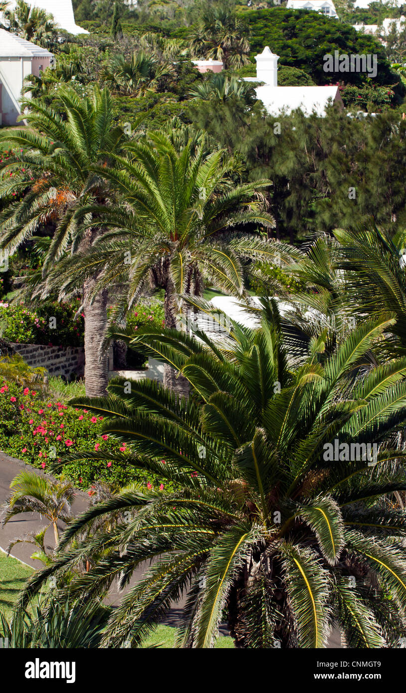 Close-up, airial view of Palm trees growing on the edge of Belmont Hills Golf Club - Stock Image
