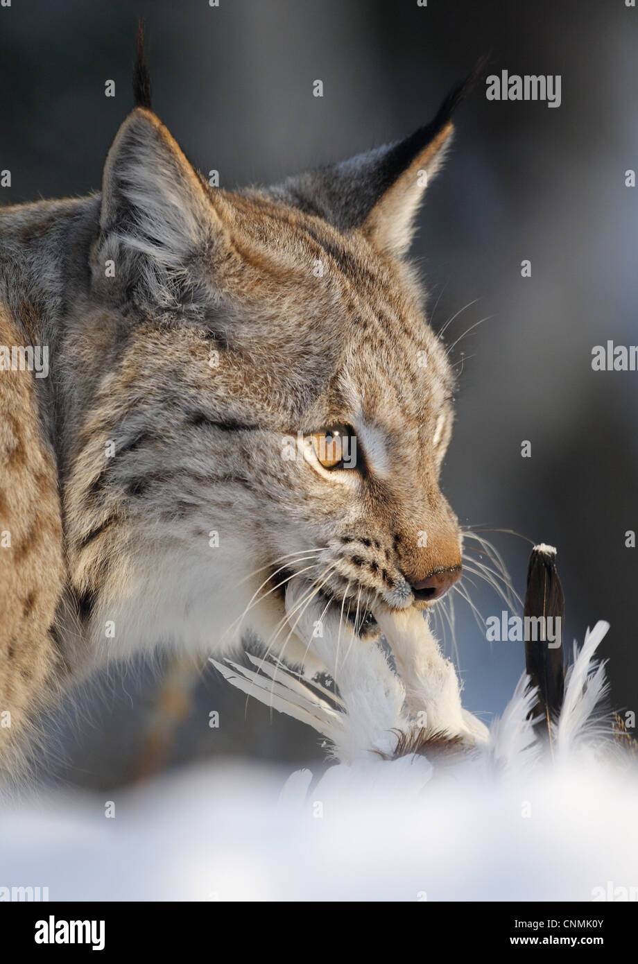 Eurasian Lynx (Lynx lynx) adult, close-up of head, feeding on Rock Ptarmigan (Lagopus mutus) prey in snow, Norway, Stock Photo